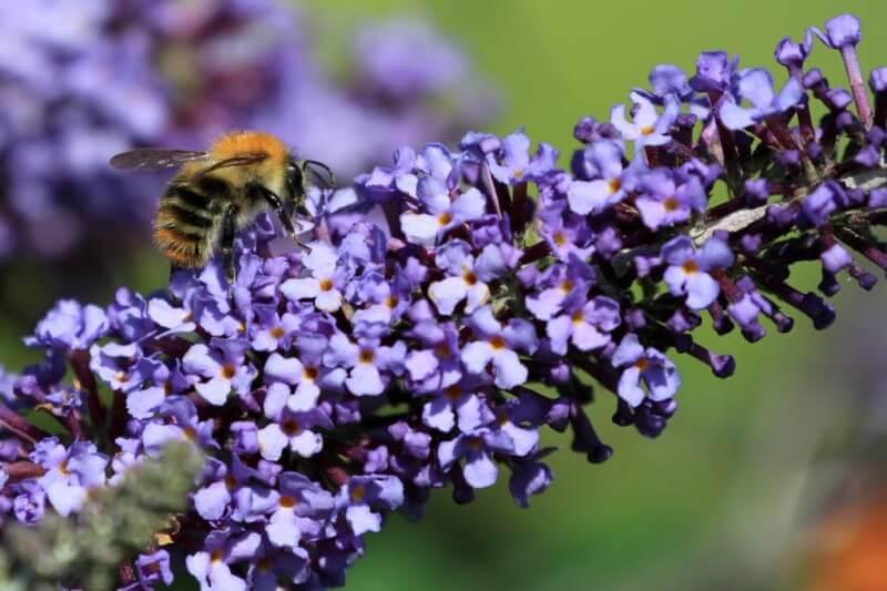 Bees Budd1