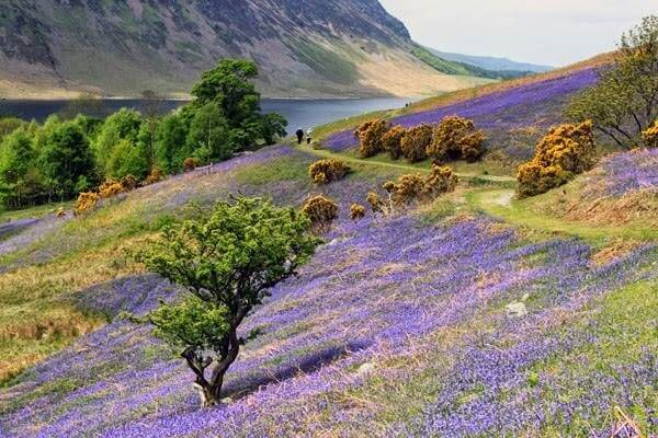 Bluebells at Rannerdale Knotts, Lake District
