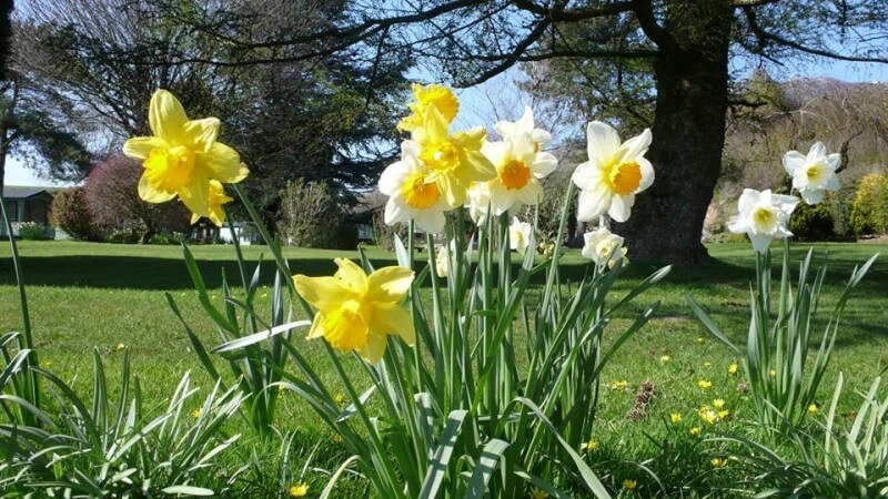 Daffodils at Hawthorns Park