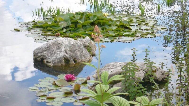 pond lilis