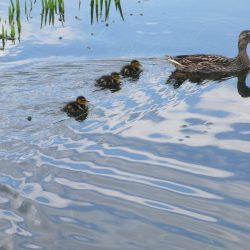 Ducklings take to the water for the first time