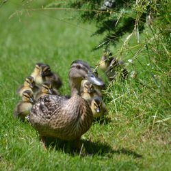A proud mother duck shows off her brood