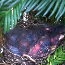 Nesting Bullfinches