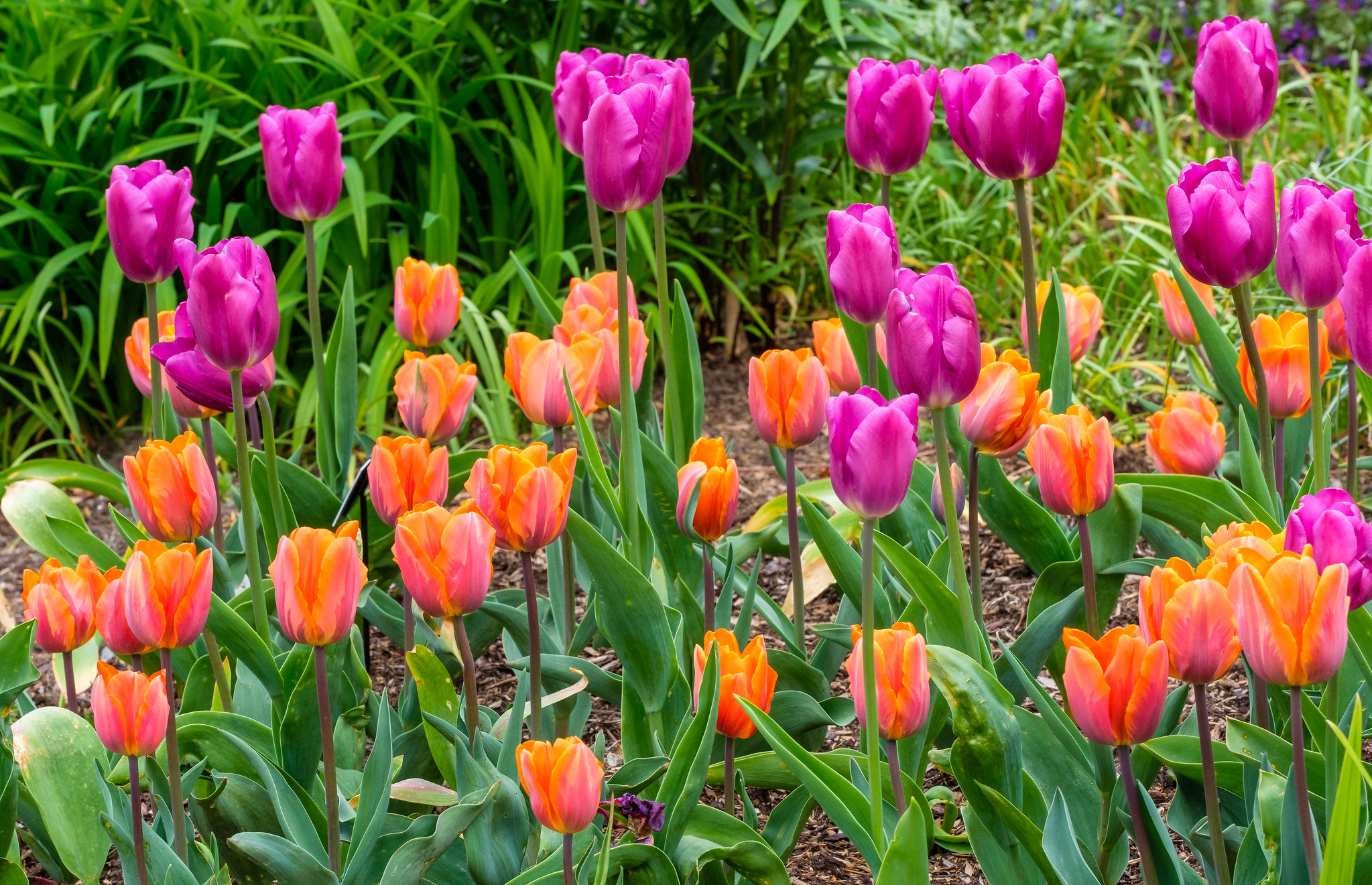 Beautiful tulips flowering in spring at Holehird Gardens windermere in the Lake District cumbria