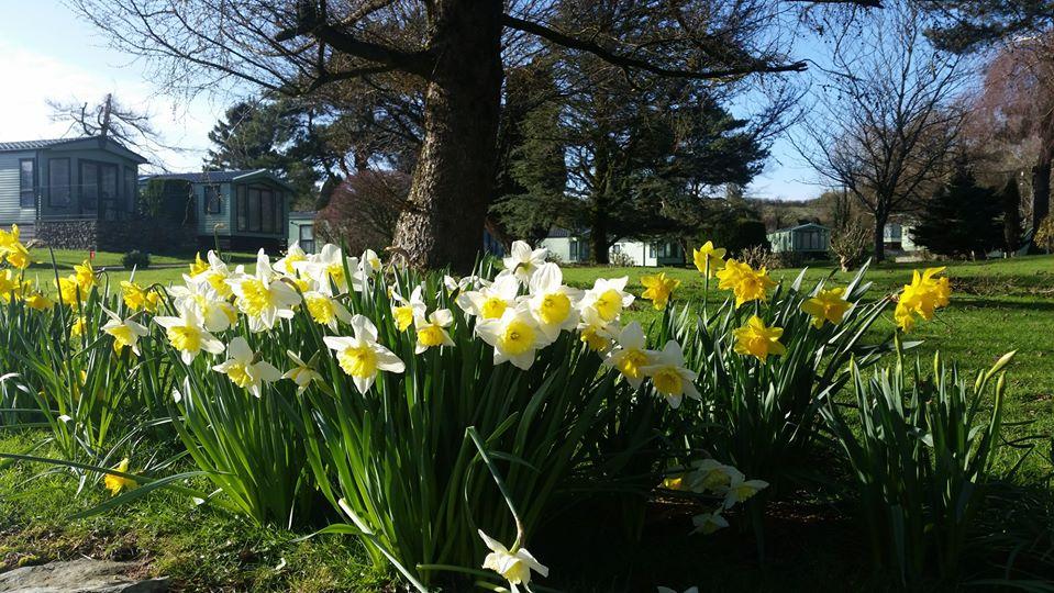 Beautiful daffodils at Hawthorns Caravan Park